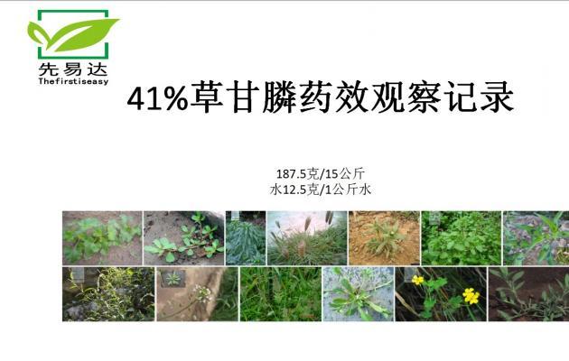 41%草甘膦异丙胺盐水剂药效实验
